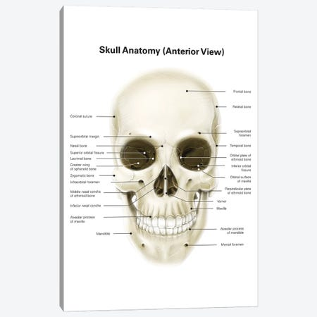 Anterior View Of Human Skull, With Labels Canvas Print #TRK2211} by Alan Gesek Art Print