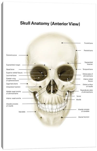 Anterior View Of Human Skull, With Labels Canvas Art Print