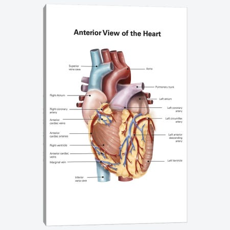 Anterior View Of The Human Heart Canvas Print #TRK2212} by Alan Gesek Canvas Art Print