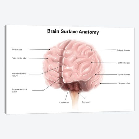 Brain Surface Anatomy, With Labels Canvas Print #TRK2214} by Alan Gesek Canvas Art