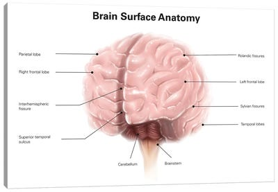 Brain Surface Anatomy, With Labels Canvas Art Print