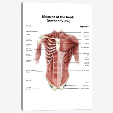 Digital Illustration Of Muscles Of The Human Torso, Anterior View Canvas Print #TRK2217} by Alan Gesek Canvas Art