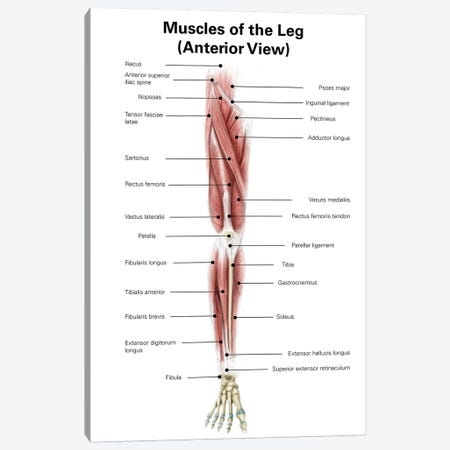 Digital Illustration Of The Anterior Muscles Of The Leg Canvas Print #TRK2218} by Alan Gesek Canvas Print