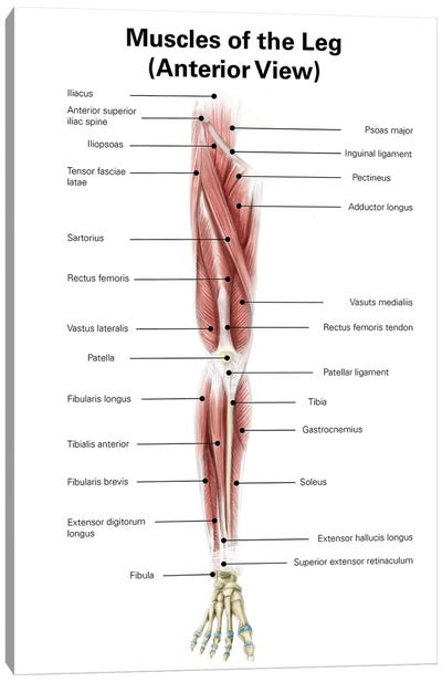 Digital Illustration Of The Anterior Muscles Of The Leg Canvas Art Print