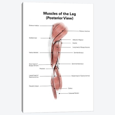 Digital Illustration Of The Posterior Muscles Of The Leg Canvas Print #TRK2219} by Alan Gesek Canvas Print