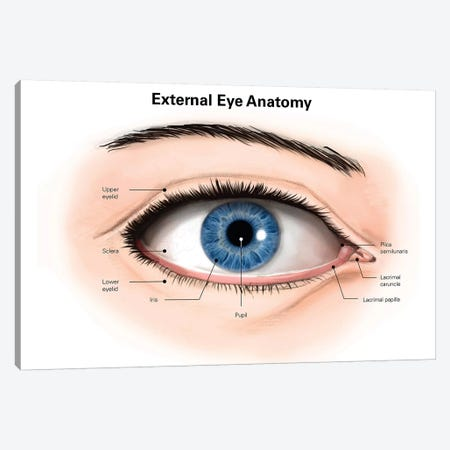 External Anatomy Of The Human Eye (With Labels) Canvas Print #TRK2221} by Alan Gesek Canvas Artwork