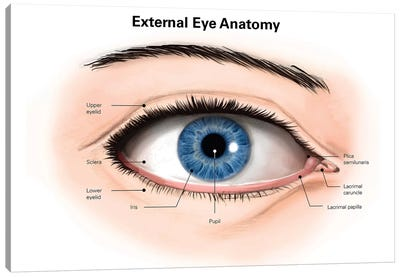 External Anatomy Of The Human Eye (With Labels) Canvas Art Print