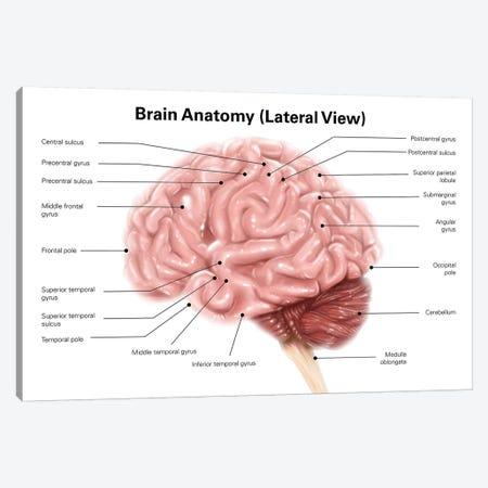 Human Brain Anatomy, Lateral View Canvas Print #TRK2223} by Alan Gesek Canvas Artwork