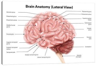 Human Brain Anatomy, Lateral View Canvas Art Print