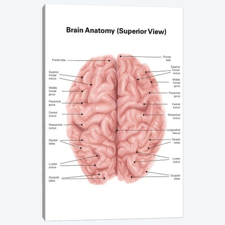 Human Brain Anatomy, Superior View Canvas Print #TRK2224} by Alan Gesek Canvas Print