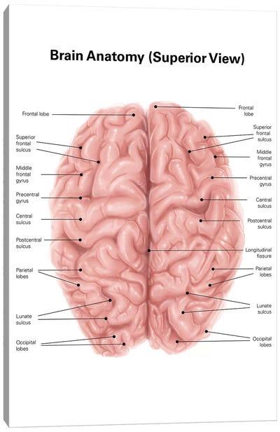 Human Brain Anatomy, Superior View Canvas Art Print