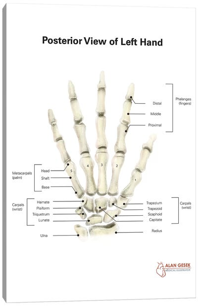 Posterior View Of Left Hand, With Labels Canvas Art Print