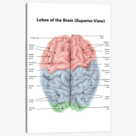 Superior View Of Human Brain With Colored Lobes And Labels Canvas Print #TRK2226} by Alan Gesek Art Print