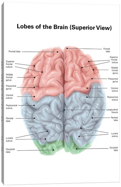 Superior View Of Human Brain With Colored Lobes And Labels Canvas Art Print