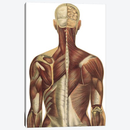 The Human Body With Superimposed Colored Plates IV Canvas Print #TRK2701} by National Library of Medicine Art Print