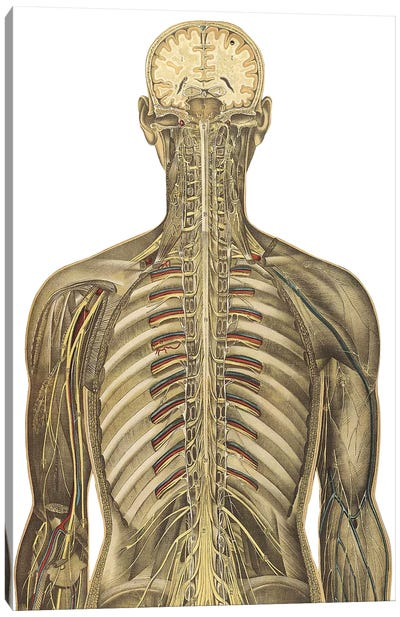 The Human Body With Superimposed Colored Plates V Canvas Art Print