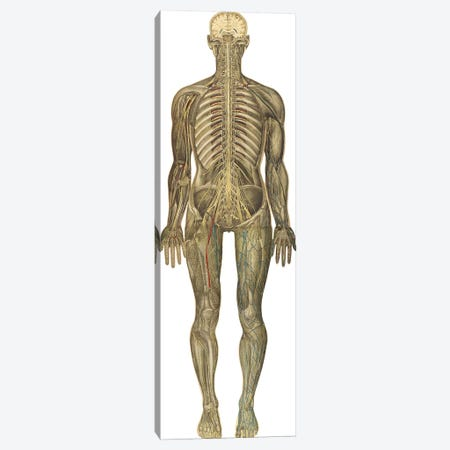 The Human Body With Superimposed Colored Plates IX Canvas Print #TRK2706} by National Library of Medicine Canvas Wall Art