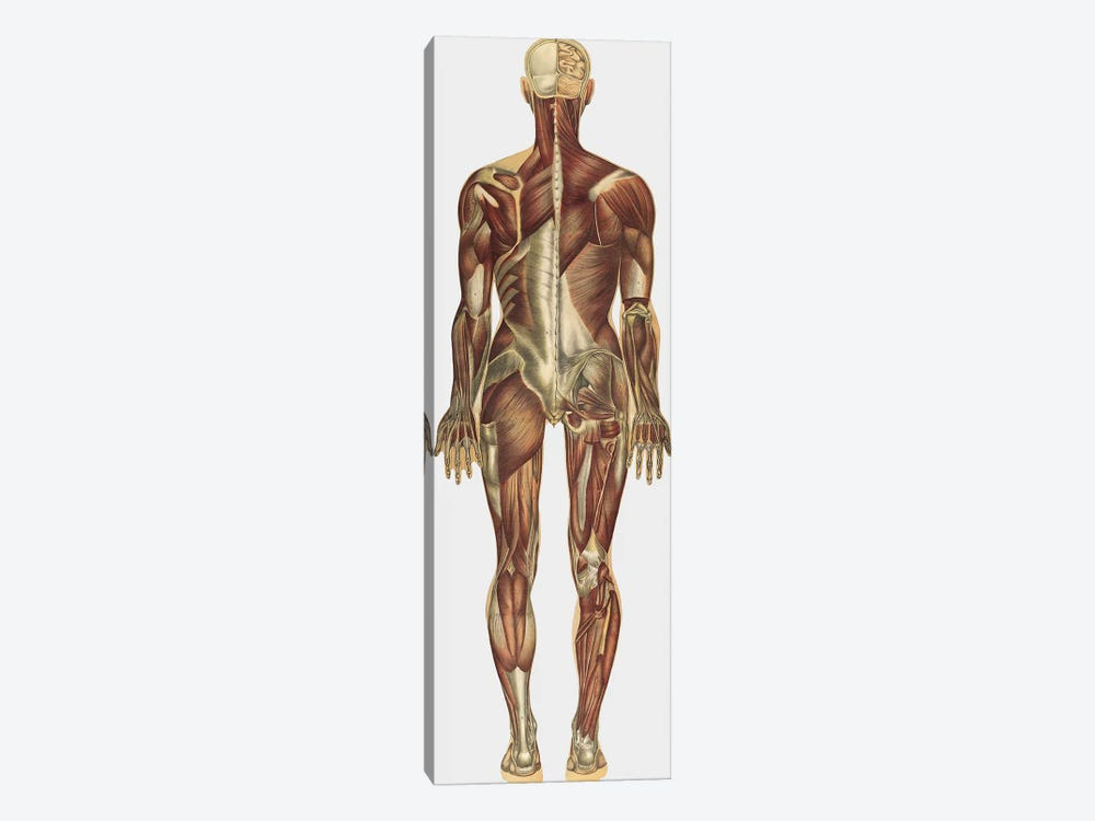 The Human Body With Superimposed Colored Plates X by National Library of Medicine 1-piece Canvas Art Print