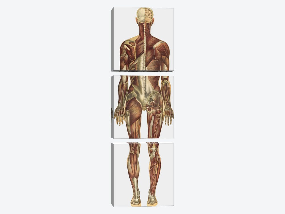 The Human Body With Superimposed Colored Plates X by National Library of Medicine 3-piece Art Print