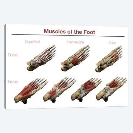 Muscles Of The Foot Canvas Print #TRK2728} by Photon Illustration Canvas Art Print