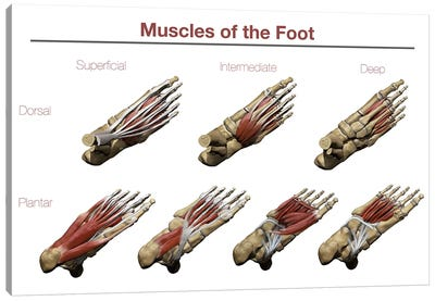 Muscles Of The Foot Canvas Art Print