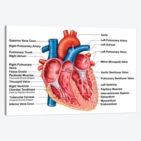 Anatomy Of Heart Interior, Frontal Section Canvas Print #TRK2735} by Stocktrek Images Canvas Print