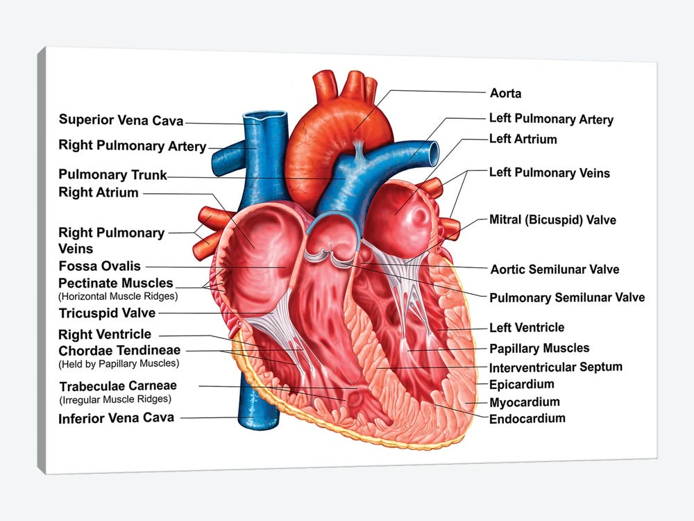 Anatomy Of Heart Interior, Frontal Section by Stocktrek Images 1-piece Canvas Art