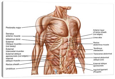 Anatomy Of Human Abdominal Muscles Canvas Art Print