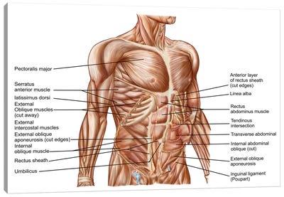 Anatomy Of Human Abdominal Muscles Canvas Art Print