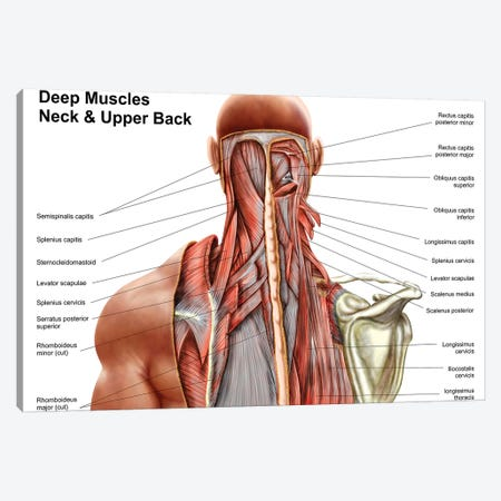 Human Anatomy Showing Deep Muscles In The Neck And Upper Back Canvas Print #TRK2750} by Stocktrek Images Canvas Art