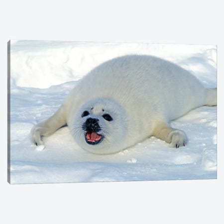 A Young Harp Seal Calling For Its Mother, Canada I Canvas Print #TRK2771} by VWPics Canvas Artwork