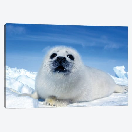 A Young Harp Seal Laying On An Ice Floe, Canada II Canvas Print #TRK2772} by VWPics Canvas Art