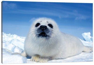 A Young Harp Seal Laying On An Ice Floe, Canada II Canvas Art Print