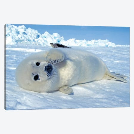 A Young Harp Seal Laying On An Ice Floe, Canada III Canvas Print #TRK2773} by VWPics Canvas Art