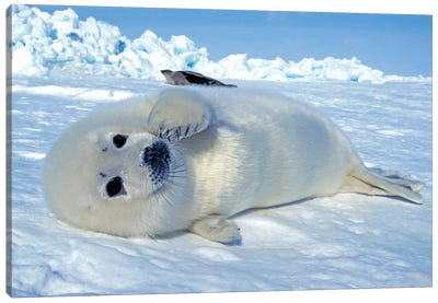 A Young Harp Seal Laying On An Ice Floe, Canada III Canvas Art Print