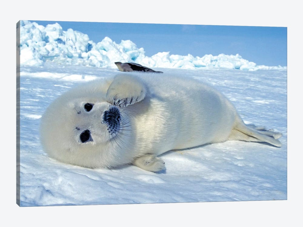 A Young Harp Seal Laying On An Ice Floe, Canada III by VWPics 1-piece Canvas Artwork