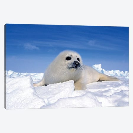 A Young Harp Seal Laying On An Icefield, Canada IV Canvas Print #TRK2774} by VWPics Canvas Print