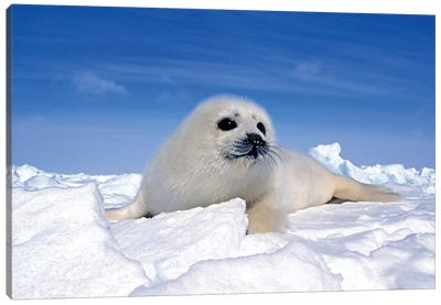 A Young Harp Seal Laying On An Icefield, Canada IV Canvas Art Print