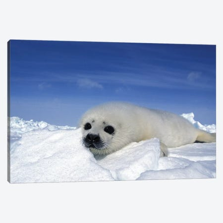 A Young Harp Seal Laying On An Icefield, Canada V Canvas Print #TRK2775} by VWPics Canvas Art Print