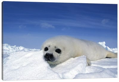 A Young Harp Seal Laying On An Icefield, Canada V Canvas Art Print
