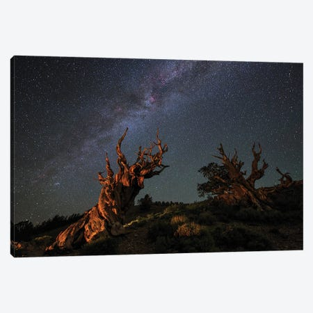 The Milky Way Above An Ancient Bristlecone Pine. Canvas Print #TRK3348} by Jeff Dai Canvas Wall Art