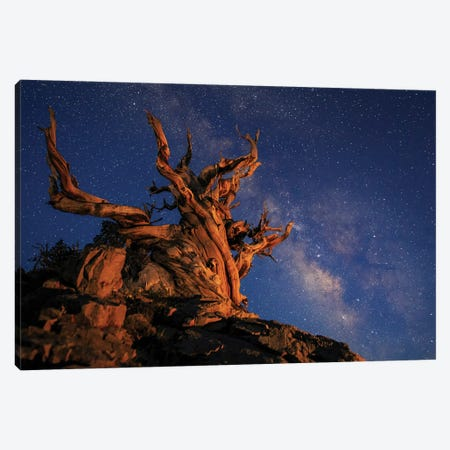 The Milky Way Above An Ancient Bristlecone Pine. Canvas Print #TRK3349} by Jeff Dai Canvas Art