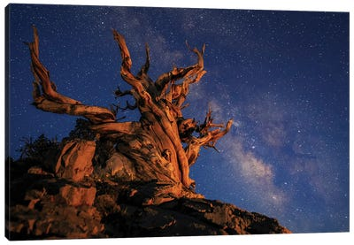 The Milky Way Above An Ancient Bristlecone Pine. Canvas Art Print