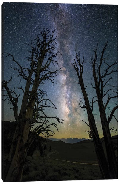 The Milky Way And Ancient Bristlecone Pine. Canvas Art Print