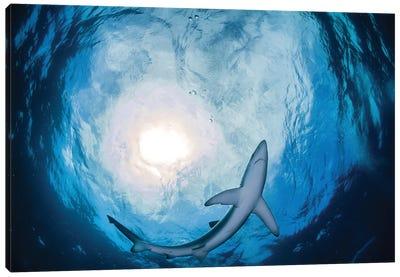 A Blue Shark Circling Just Above, South Africa Canvas Art Print