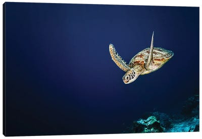 A Green Sea Turtle Is Starting Its Dive After A Trip To The Surface To Breath In Sipadan, Malaysia Canvas Art Print