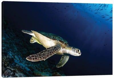A Green Sea Turtle, Palau Canvas Art Print