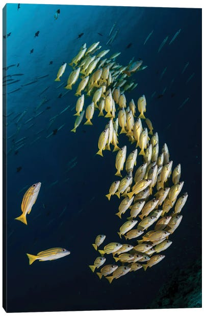 A School Of Blue Striped Snapper Swimming In The Strong Currents Of Palau Canvas Art Print