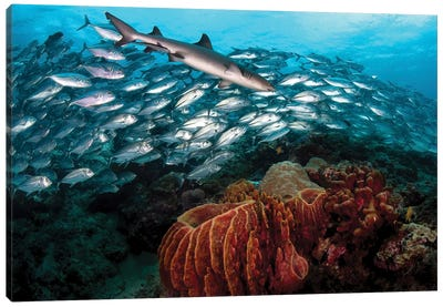 A whitetip Reef Shark Swims In Front Of A School Of Big Eye Trevally Canvas Art Print