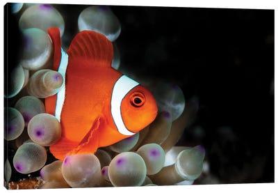 Amphiprion Oceallaris Anemonefish In The Bubble-Tip Anemone Canvas Art Print
